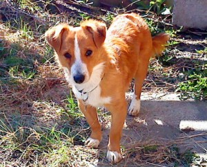 אלופקיס, רק 58 כלבים נותרו